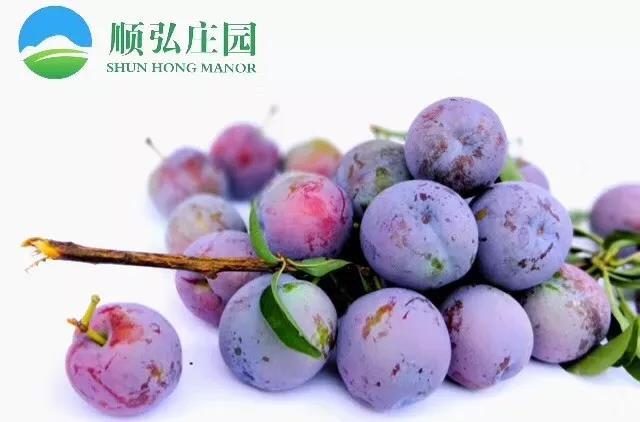 """【直播回放】资阳忠义镇2019""""苌弘李采摘节"""""""